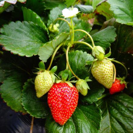 strawberry plant, strawberry, fruit, Sony DSC-WX30