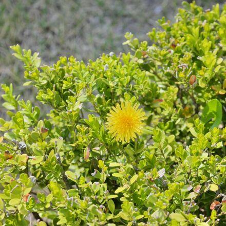 yellow flower, grass, greenness, Samsung NX30