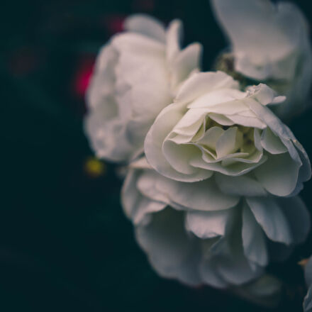 bokeh, flowers, rose, white, Nikon D5100