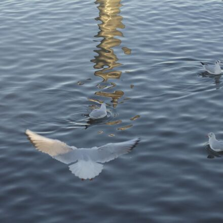 50mm, bird, gull, lake, Canon EOS 1100D