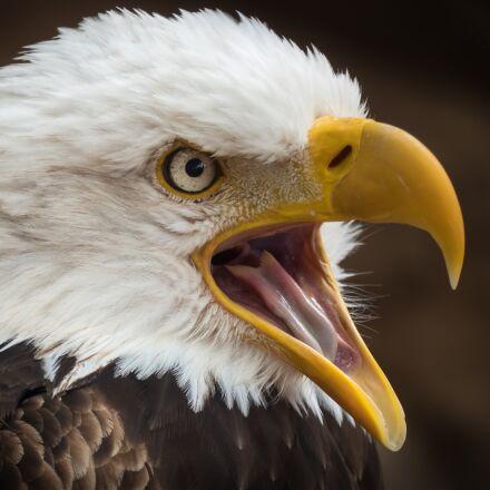 adler, white tailed eagle, Panasonic DMC-FZ300