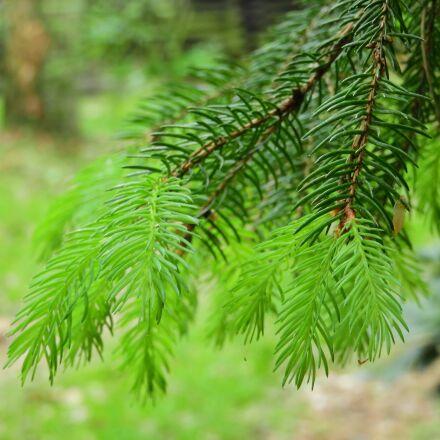 conifer, forest, green, Nikon COOLPIX B700