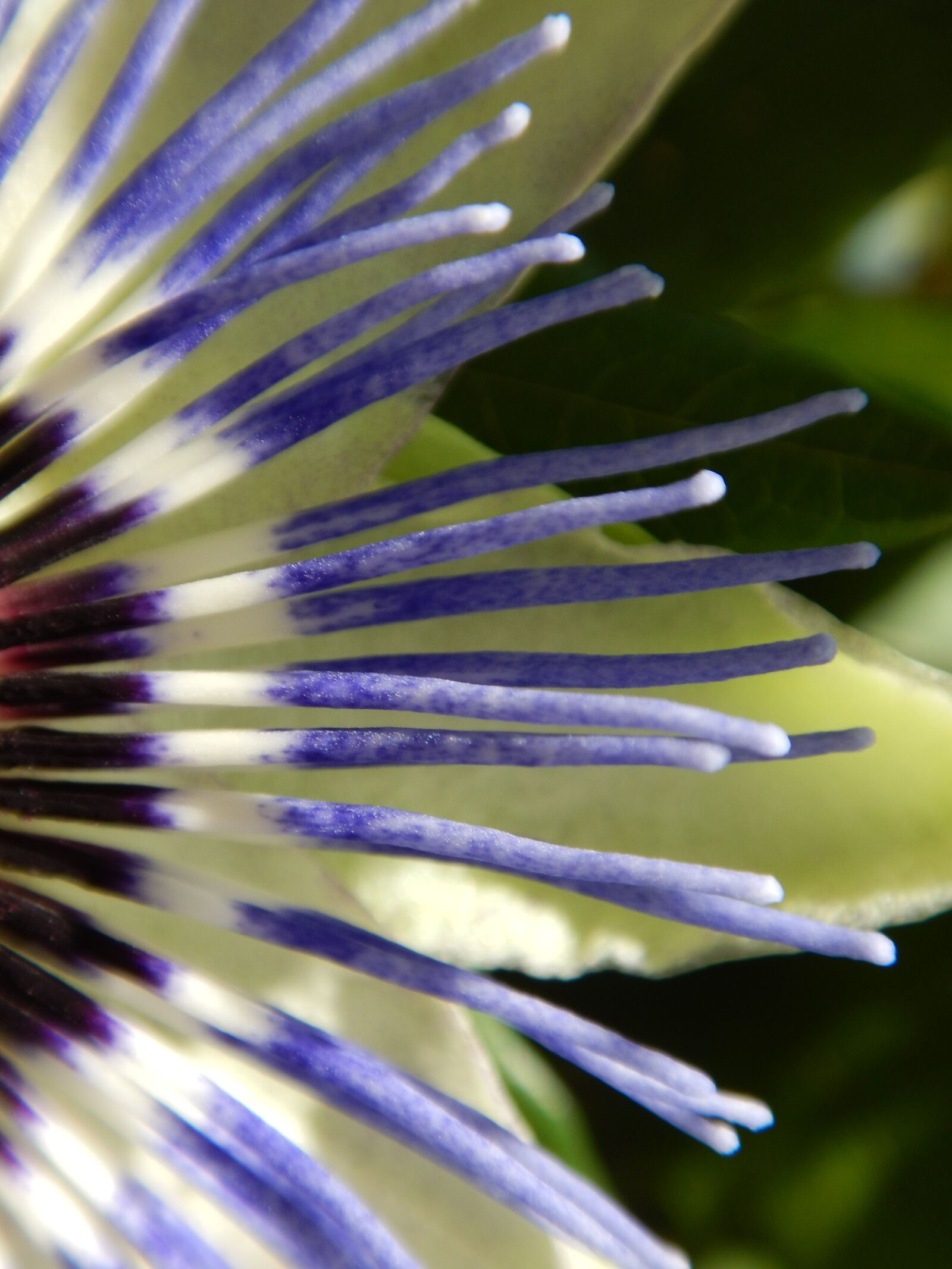 """Nikon Coolpix AW120 sample photo. """"Macro, passion flower, graphically"""" photography"""