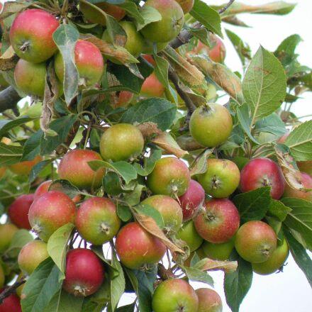 apple, tree, branch, Fujifilm FinePix S8100fd