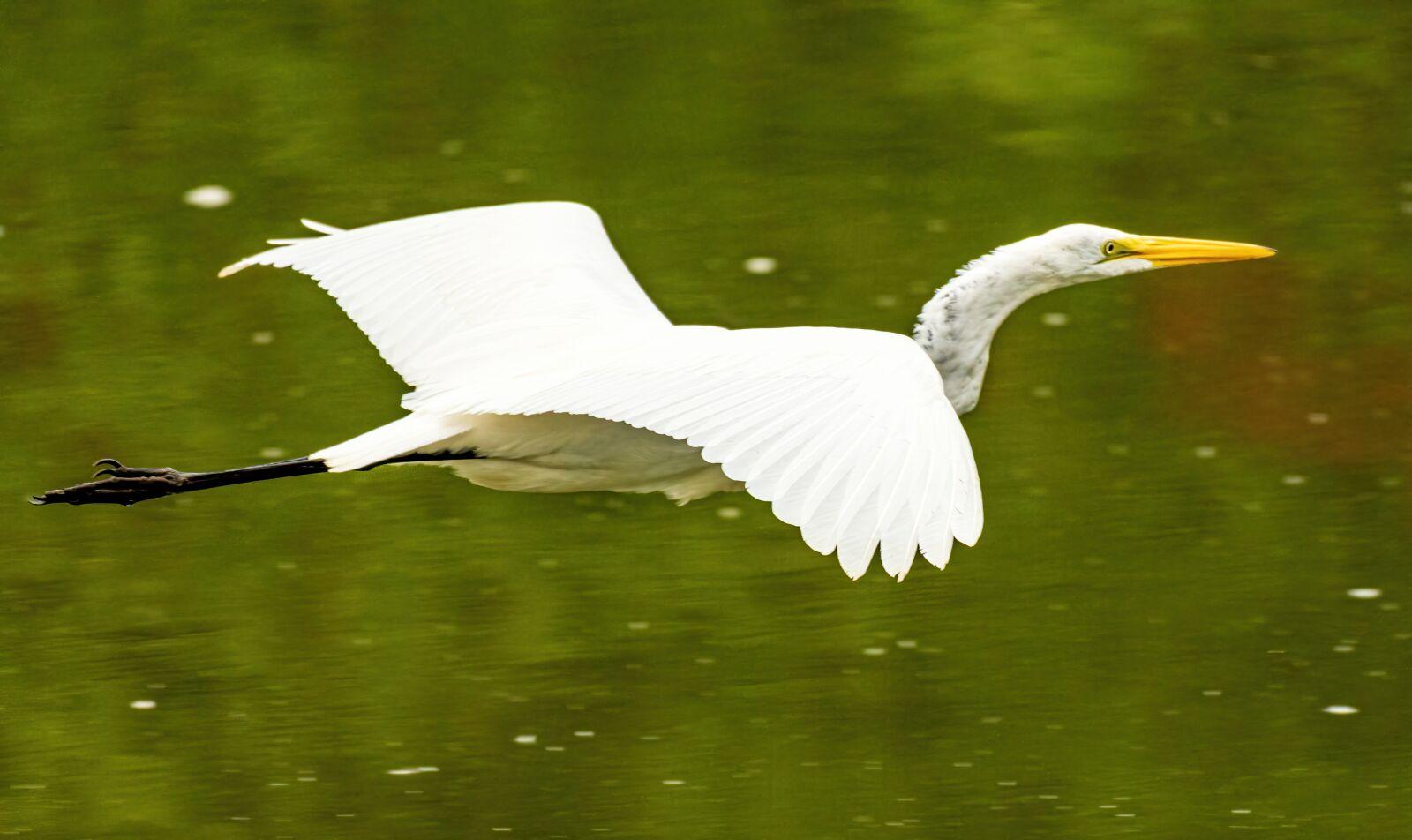 "Sony a6400 sample photo. ""Egret flying, egret isolated"" photography"