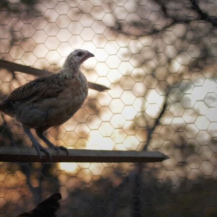 chick, chicken, cage, Canon EOS 600D