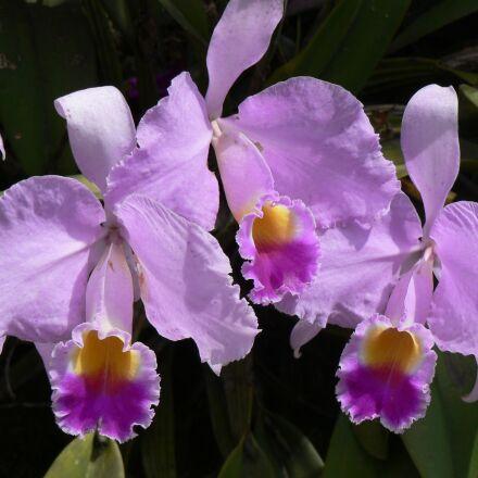 orchid, flower, colombia, Panasonic DMC-FZ5