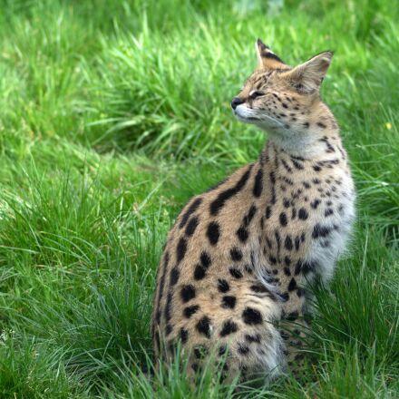 feline, disgust, spotted, RICOH PENTAX K-3