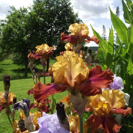 iris, flowers, garden, Fujifilm FinePix S1800