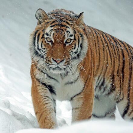 amurtiger, tiger, big cat, Sony ILCA-77M2