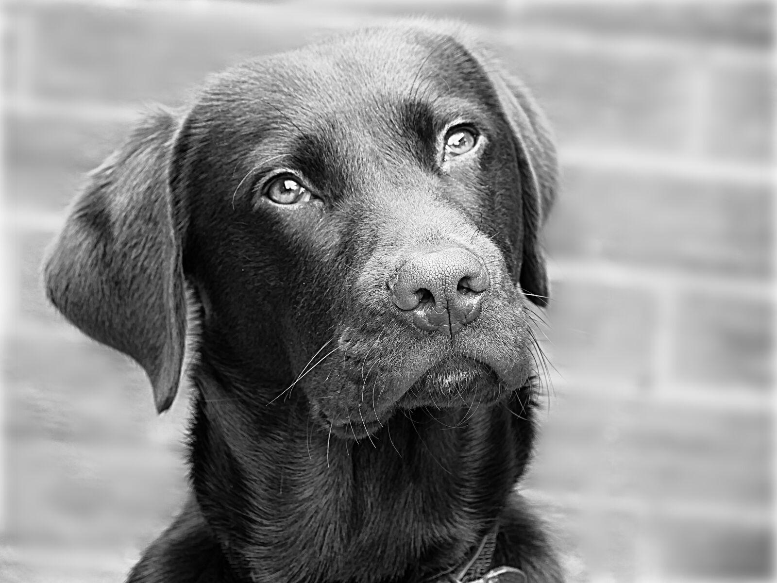 labrador, dog, retriever