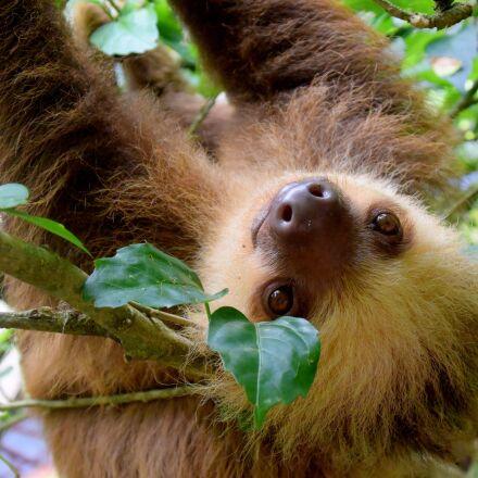sloth, costa rica, puerto, Nikon 1 J4