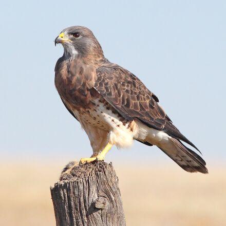 avian, hawk, bird of, Canon EOS REBEL T4I