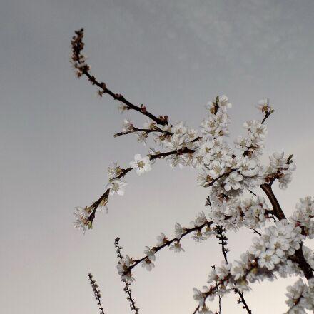 cherry, bloom, spring, Nikon COOLPIX L330
