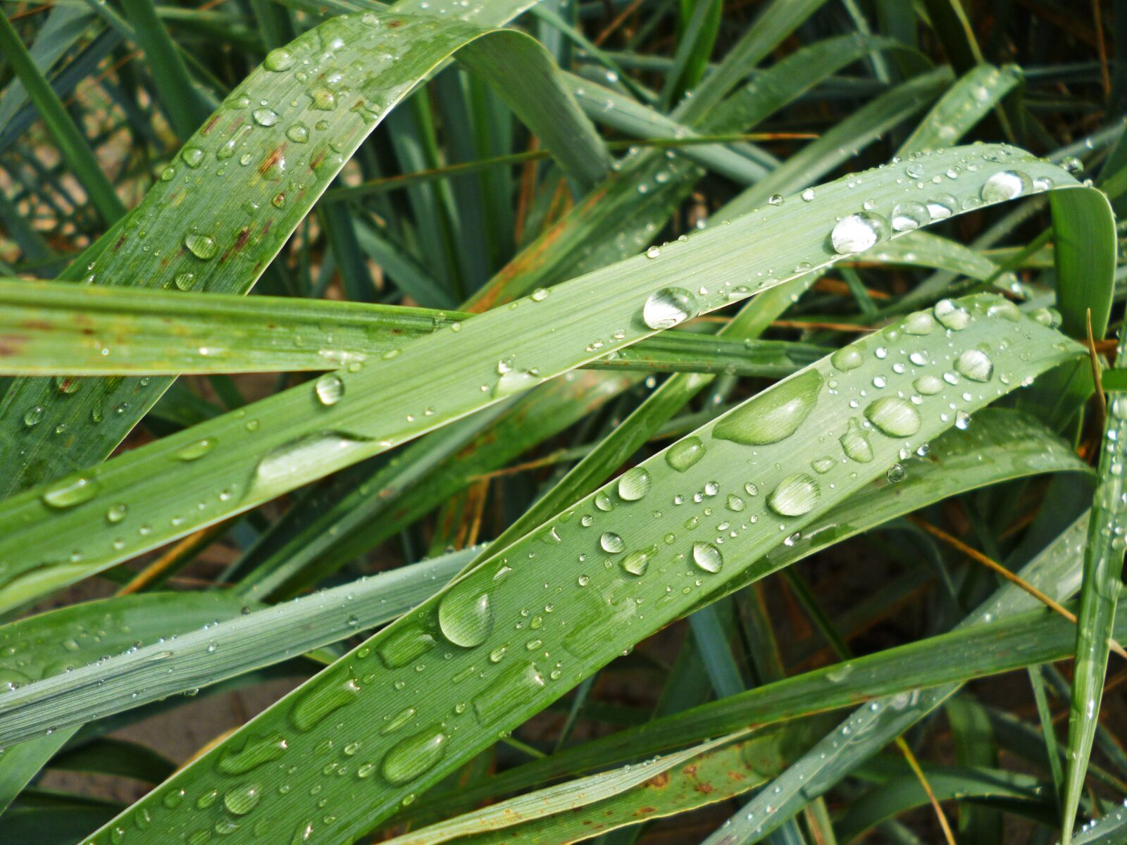 "Panasonic DMC-FS22 sample photo. ""Grass, nature, drops"" photography"