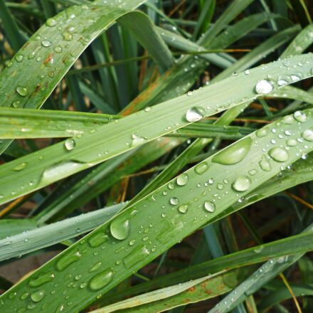 grass, nature, drops, Panasonic DMC-FS22