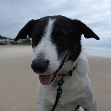 dog, border collie, animal, Nikon 1 J5