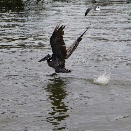 pelican, water, flying, Panasonic DMC-ZS20