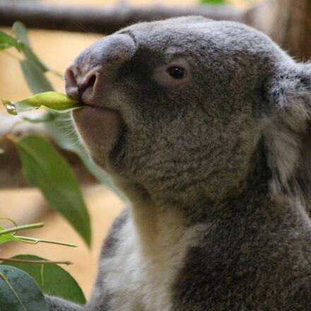 koala, rest, koala bear, Canon EOS 100D