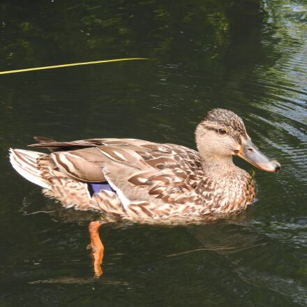 the wild duck, water, Nikon COOLPIX P900