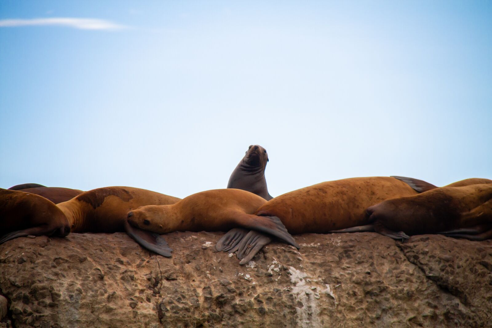 """Canon EOS 7D sample photo. """"Northern sea lion, steller"""" photography"""