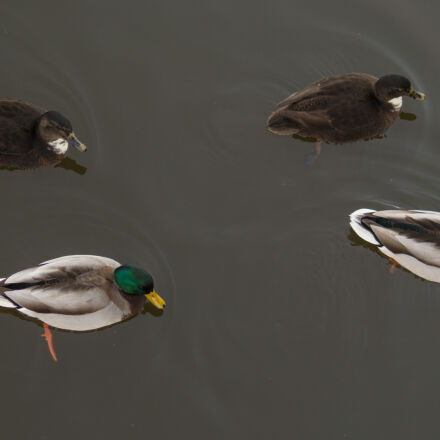 water, lake, birds, ducks, Sony SLT-A58