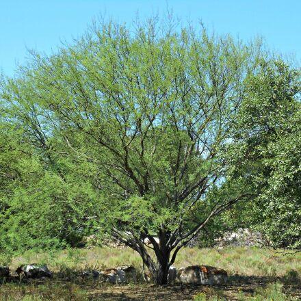 texas tree, wild tree, Nikon COOLPIX S3700