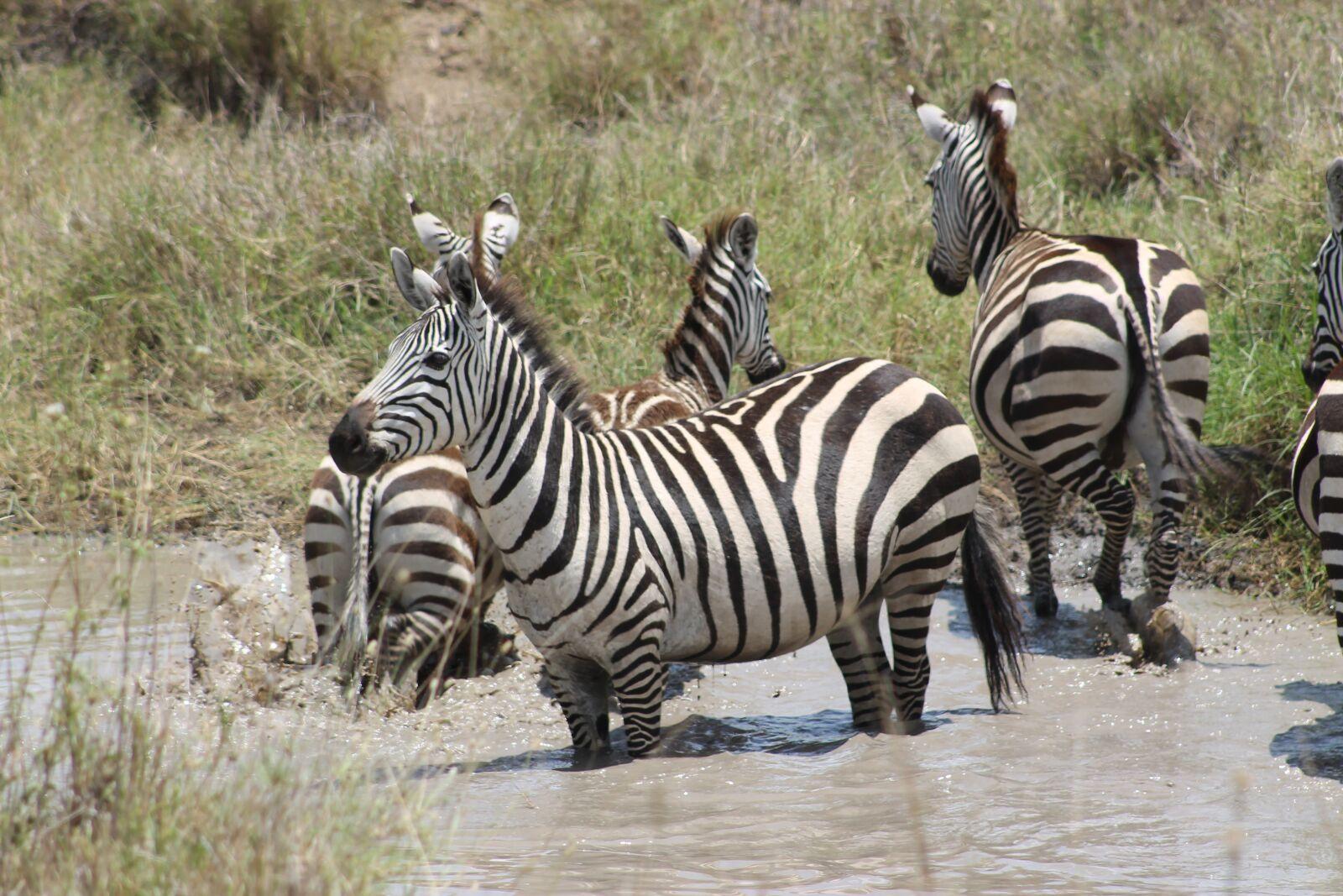 "Canon EOS 1100D (EOS Rebel T3 / EOS Kiss X50) sample photo. ""Tanzania, serengeti, zebra"" photography"