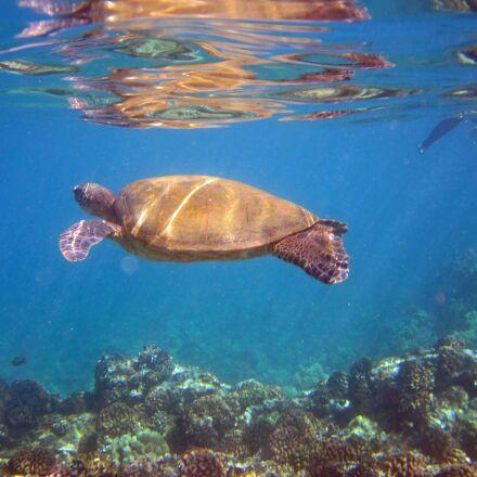 turtle, animal, hawaii, Canon POWERSHOT ELPH 100 HS