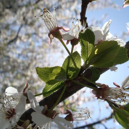 flower, tree, branch, Sony DSC-T70
