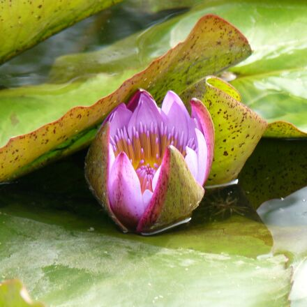 water lily, pond, pink, Panasonic DMC-FZ8