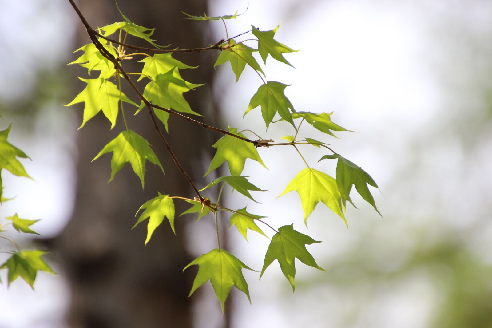 """Canon EOS 600D (Rebel EOS T3i / EOS Kiss X5) sample photo. """"Leaves, maple, sprigs"""" photography"""