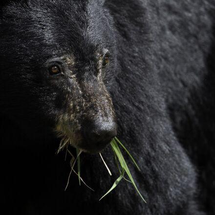 black bear, eating, wildlife, Canon EOS 5D MARK III