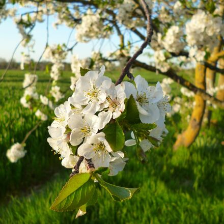 cherry, flowers, cherries, Panasonic DMC-FH4