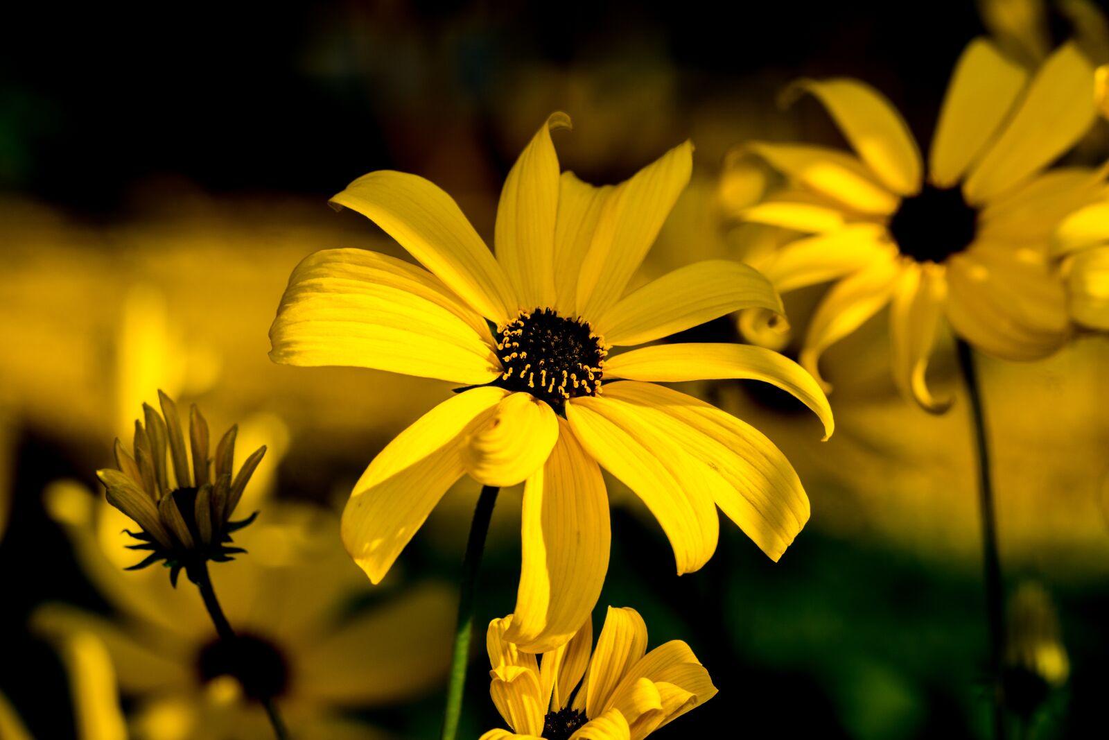 "Sony a6000 sample photo. ""Rudbeckia, flowers, contrast"" photography"