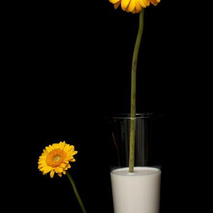 daisy, milk, yellow, Canon EOS 40D