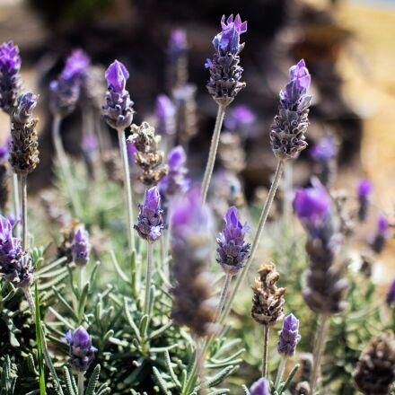 purple, garden, flower, Canon EOS REBEL T6S