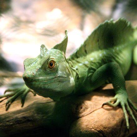 common basilisk, lizard, basilisk, Canon EOS 650D