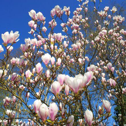 magnolia, tulip magnolia, early, Sony SLT-A99V