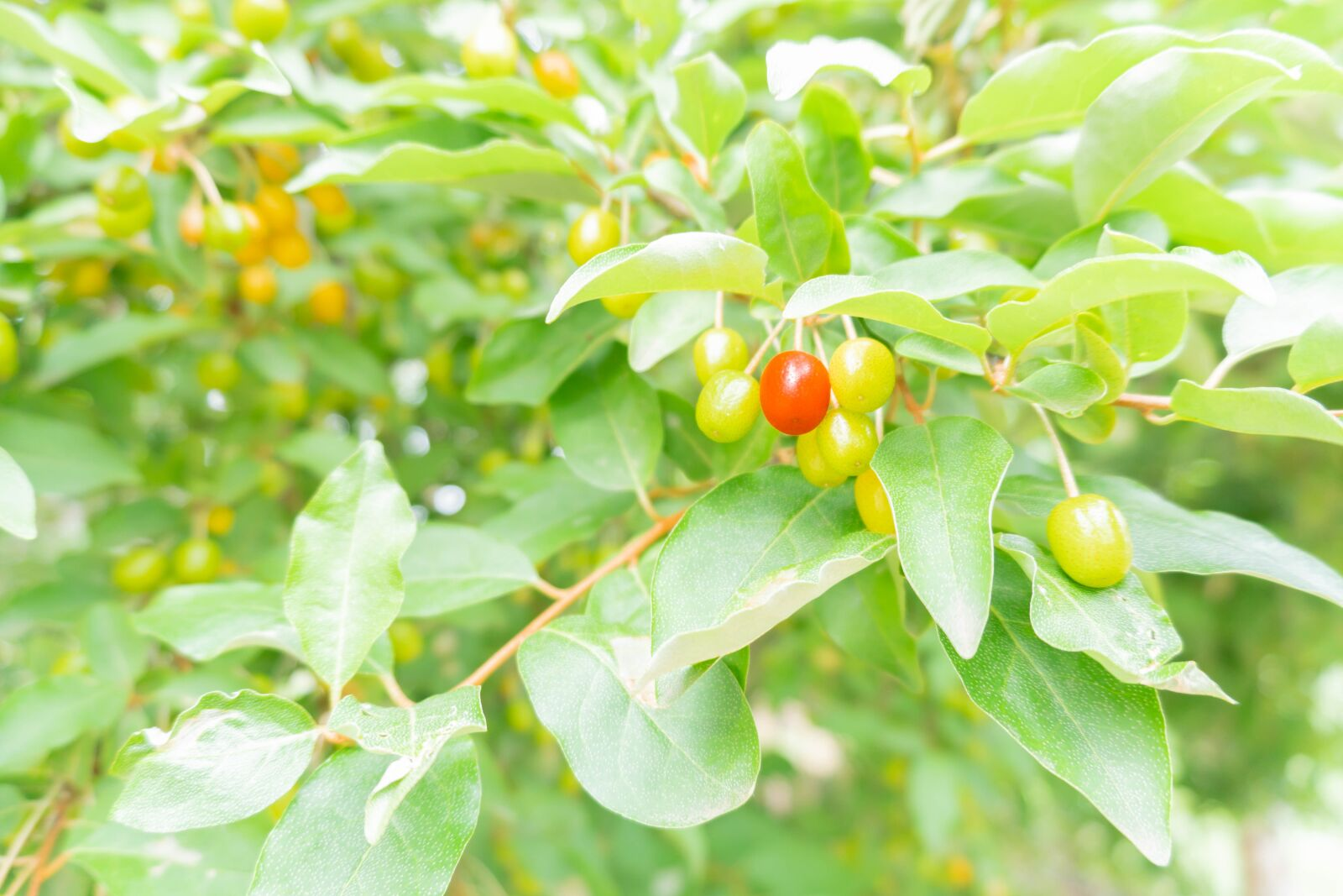 "Sony a6500 sample photo. ""Fruit, bean, beautiful"" photography"