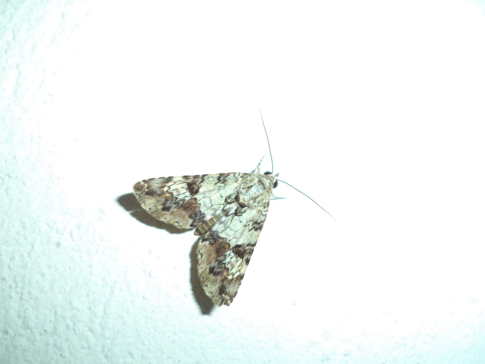 mariposa, butterfly, lepidopteran