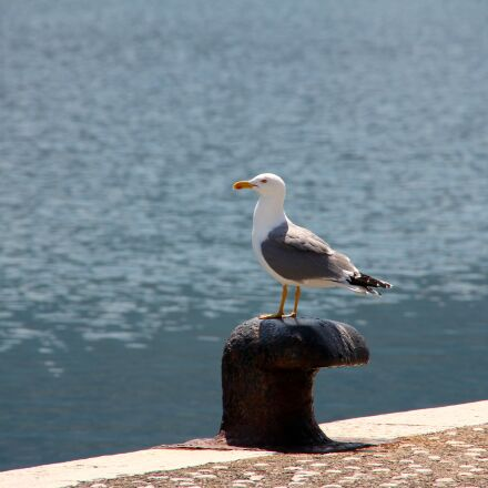 seagull, water, sea, Canon EOS 60D