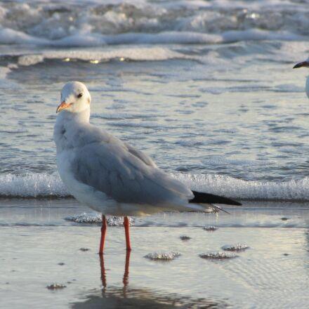 seagull, baltic sea, sea, Canon POWERSHOT SX1 IS