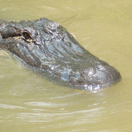 alligator, swamp, reptile, Sony DSC-W90