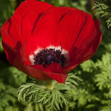 flower, anemone, spring, Pentax K10D