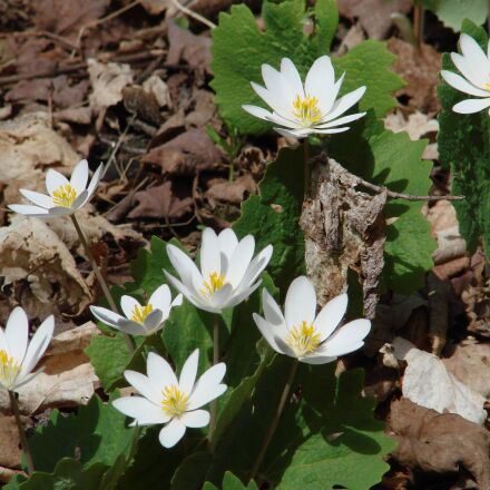 sanguinarea canadensis, bloodroot, wildflowers, Sony DSC-H5