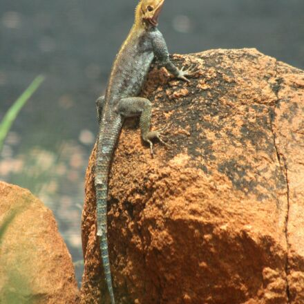 the lizard, blue, kenya, Canon EOS 600D