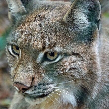 lynx, watch, cat, Sony ILCE-7