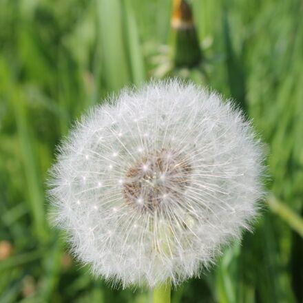 dandelion, grass, summer, Canon EOS 1100D