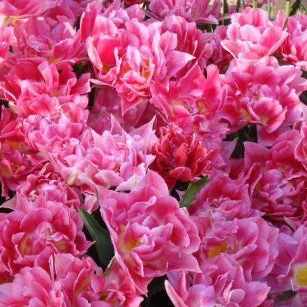 flower, plant, garden, Sony DSC-W120
